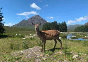 Deer at Buachaille Etive Mòr, Glencoe
